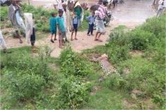 leopard body found near government school panic in the terrain