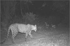 shahjahanpur leopard victim made deer and calf