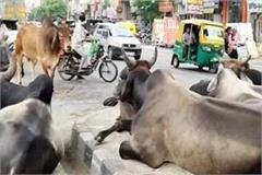 cattle free street  is resting on the streets in bahadurgarh s cow