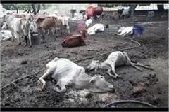 5 15 cattle deaths every day due to hunger in the gaushala of mirzapur