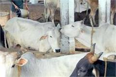 nagar panchayat president did inspection of gaushala