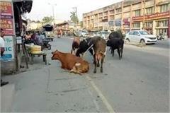 destitute cattle in una