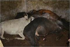 5 dead cows found in the cattle bath room