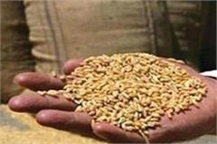wheat being distributed in the flour pulses scheme