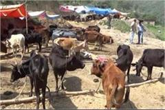 destitute cows roaming the streets have not found a solution