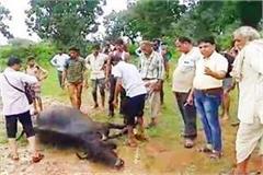 9 buffalo killed in ashoknagar