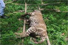 dead body old leopard near son bhadra river forest officials cremated