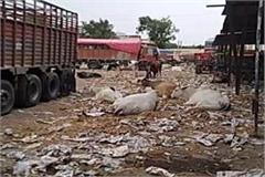 dabua vegetable market in faridabad made of straw cattle