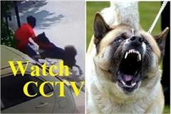 american breed dog akita attcked on thief watch cctv video