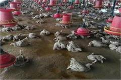 5 thousand chickens died in poultry farm due to flood