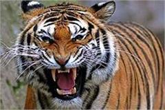 a man eating tiger hunted a young man