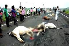 cows trample on nh 52 unknown vehicle 17 dead