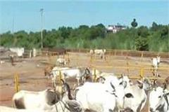 700 cow dynasty of mahadev gaushala hunger death threat
