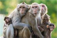 rate increase of monkey death