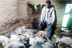 leopard kill the goats