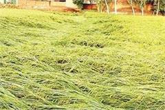 unseasonal rain and storm damage crops