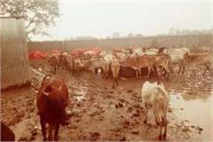 8 cows died in sitaram dayodaya gaushala