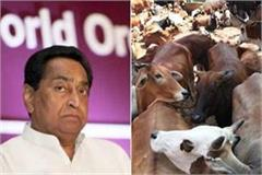 cow will be able to adopt in mp