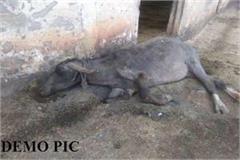 20 buffalo killed in ndri under suspicious circumstances