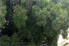 maulsari tree of jwala ji temple in danger