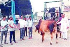 gaushalas refuse to take cows