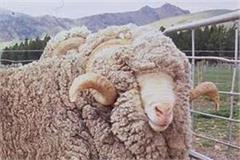 sheep farmers will be rewarded with merino