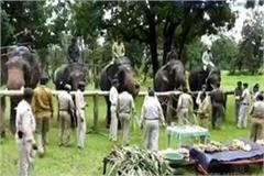 elephants are getting vvip facilities in five day rejuvenation camp