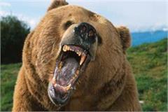 chamba bharmour elderly girl bear attack