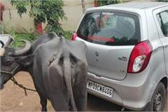 naib tehsildar asked for bribe farmer tied buffalo car no money