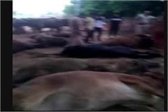 police caught cow loaded truck smugglers absconded