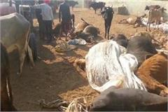 panchkula 80 cows killed more than 30 injured