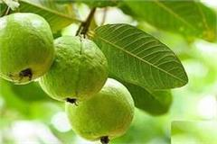 this district of up was selected for the country s largest guava nursery