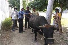 up cruelty on animals not stopped acid poured on cow dynasty