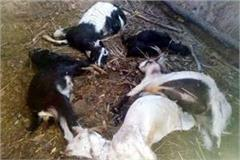 leopards-attack-on-goats