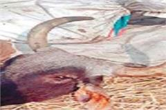 100 cow dead body recovered