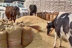 plenty of stray animals in the grain market kumbhakarni slept in city council