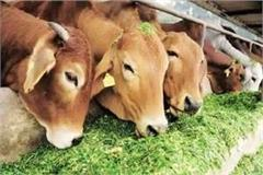 shivraj government preparing to impose mp cow tax