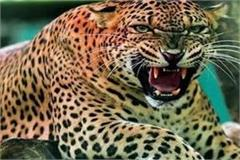 forest department laid a trap for man eating leopard who pulled the innocent