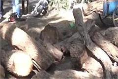 forest mafia cut 6 trees of khair forest worker s car collided and escaped
