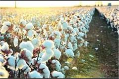 cia raises cotton production estimate to 358 50 lakhs