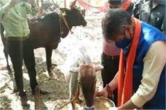 kailash did cow service by feeding cow with grain
