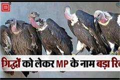 radio tagging of vultures started in panna tiger reserve