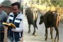 buffalo owner fined 10 thousand rupees on cow dung on new road