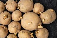 increased prices of potato seed troubled farmers  breath
