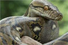 the largest world of pythons is here in india