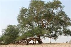 shami  tree has great astrology and medicinal value