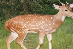 famous doctor parvez khan turns out to be a deer meat supplier