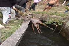 sambhar fell in shah canal then these angels reached to save