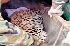 leopard trapped in gaggal