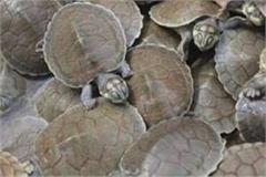 bulandshahr 11 sacks full of turtles recovered smuggler absconding